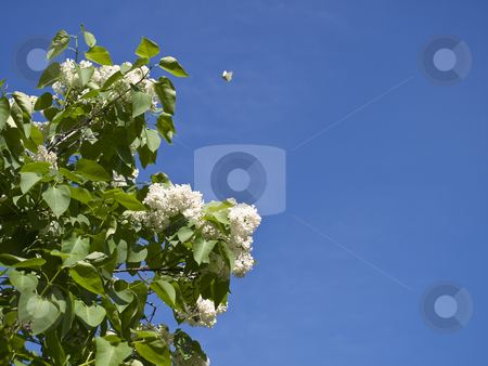 Lilac and butterfly stock photo, Lilac and butterfly against the blue sky by Sergej Razvodovskij