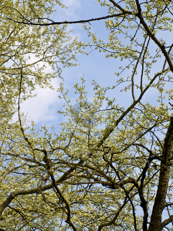 Blossom stock photo, Blossom spring tree branches against the blue sky by Sergej Razvodovskij