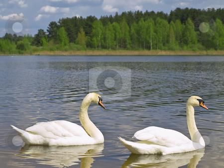 Two swans stock photo, Two white swans at the blue lake by Sergej Razvodovskij