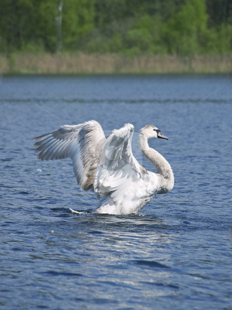 Fly up yang swan stock photo, Fly up yang swan at the blue lake in wild nature by Sergej Razvodovskij