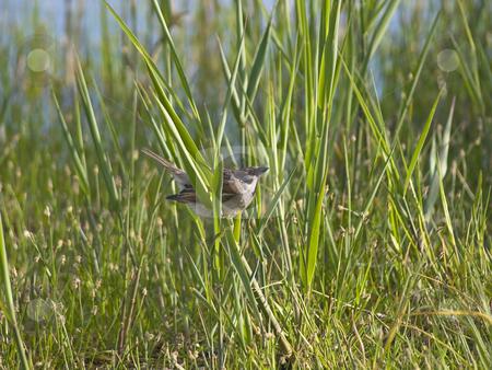 Sparrow in grass stock photo, Wild little sparrow in the green grass by Sergej Razvodovskij