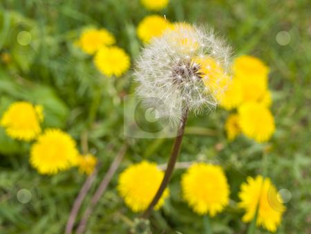 White dandelion stock photo, White spring dandelion at the green grass and yellow dandelions by Sergej Razvodovskij