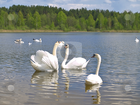 Swan love stock photo, Two romance swans swimming with other swans at the blue lake by Sergej Razvodovskij