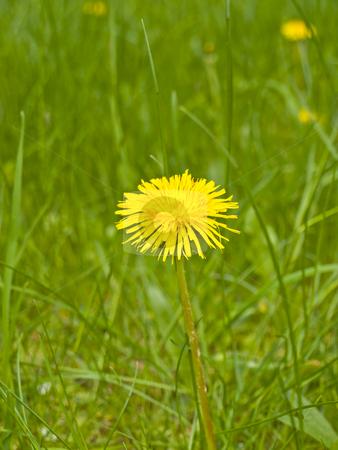 Dandelion stock photo, Yellow spring dandelion at the green grass by Sergej Razvodovskij