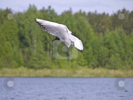 Flying seagull stock photo, Flying under blue water seagull against green forest by Sergej Razvodovskij