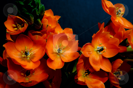 Orange Perennial Flower stock photo, Sun Star flower closeup on a dark background by Lynn Bendickson