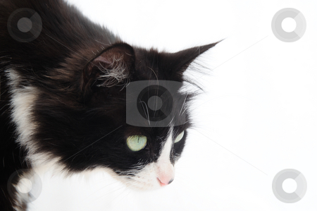 Curious Feline stock photo, Black and white cat on a light colored background looking at something out of camera frame by Lynn Bendickson
