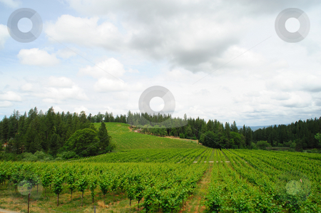 Spring Vineyard In California stock photo, New vine growth in a california sierra foothill vinyeard with pine and cedar trees in the background by Lynn Bendickson