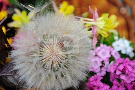 Dandelion Puffball stock photo, Closeup view looking into the tendrils of a giant Dandelion. showing indiviual seeds with detail of the umbrela with other colorful flowers in the background by Lynn Bendickson