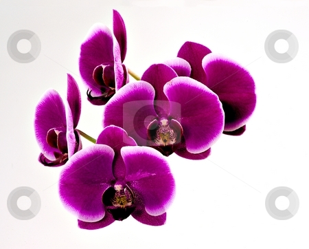 Purple orchid isolated stock photo, Purple orchid flower detail isolated by Juraj Kovacik