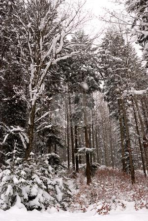 Trees stock photo, Trees in winter season by Dragos Iliescu