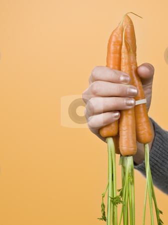 Hand holding carrots stock photo, One hand holding a bunch of carrots with greens. vertical. by Jonathan Ross