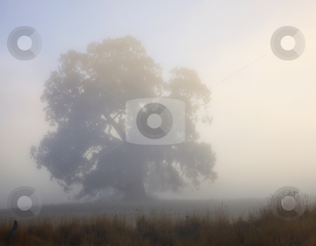 Emerging stock photo, A majestic gum tree emerges as the early morning fog burns off as the sun rises in the Adelaide Hills. by Mike Dawson