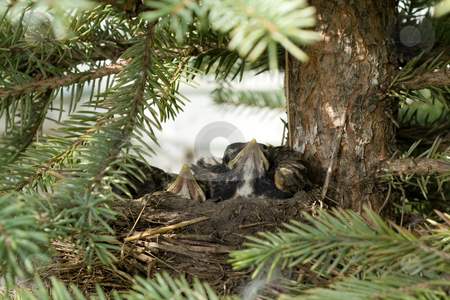Bird Nest stock photo, A bird nest with baby robins waiting for food by Richard Nelson