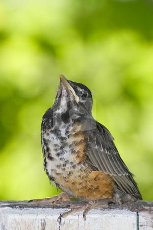 Juvenile Robin stock photo, A juvenile robin sitting on a fence outside by Richard Nelson