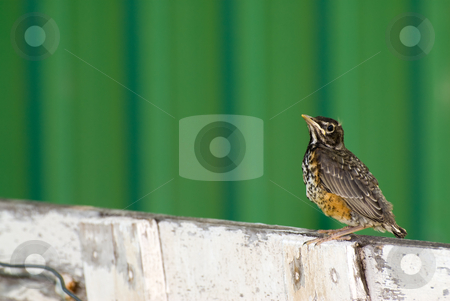 Young Robin stock photo, A juvenile robin sitting on a fence outside by Richard Nelson