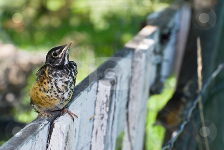 Juvenile Robin stock photo, A juvenile robin sitting on a fence outside by Richard Nelson