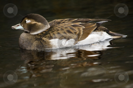 Blue Bill Duck with Reflection Alaska stock photo, Brown and White Blue Bill Duck Swimming on Dark Water with Reflection Alaska by William Perry