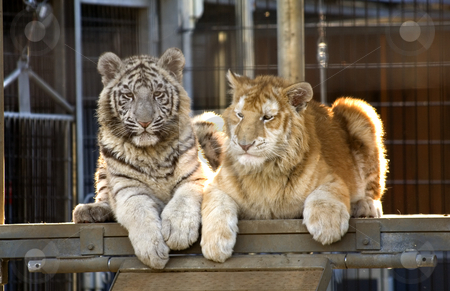 Rare Bengal Tiger Cubs stock photo, Royal White Tiger Cub and Golden Bengal Tiger Cub.  There are only 300 Royal White Tigers in the World and very few Golden Bengal Tigers. by William Perry