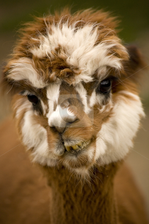 Calico Alpaca Lama Face stock photo, Close Up Face of Calico Brown and White alpaca, lama, Portrait by William Perry