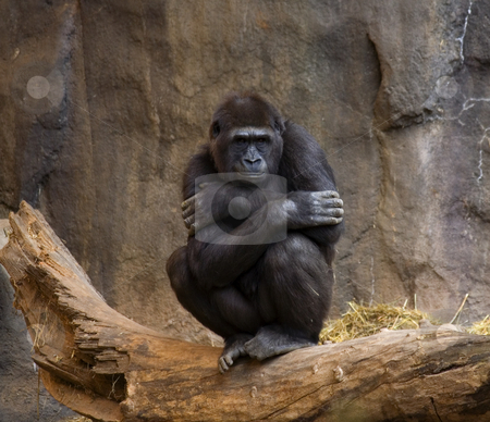 Gorilla Ape Looking at crowd stock photo, Gorilla, Ape, thinking and looking out at the crowd by William Perry