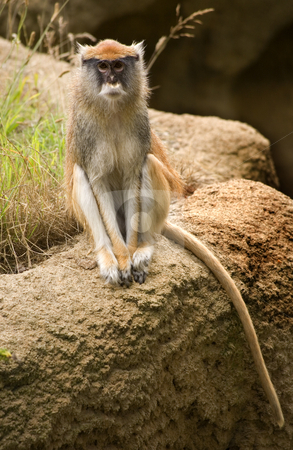 Patas Monkey Looking At You stock photo, Patas Monkey Looking At Crowd by William Perry