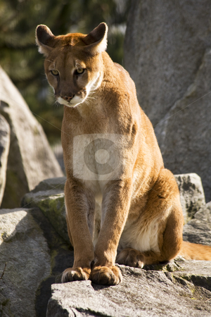 Mountain Lion Cougar Looking for Prey stock photo, Mountain Lion Cougar Looking for Prey.  The Mountain Lion is a hunter and is always looking for movement to go after. by William Perry