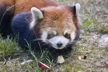 Red Panda Shining Cat Close Up stock photo, Red Panda Close Up Macro Shining Cat by William Perry