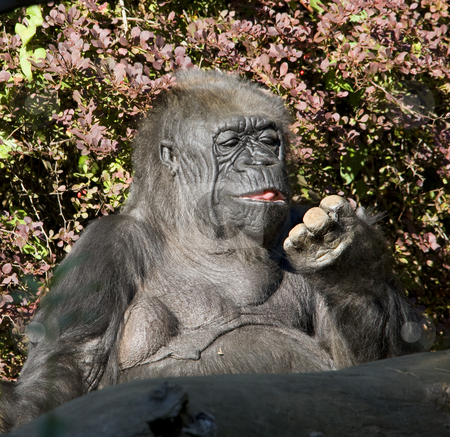 Western Lowland Gorilla Ape Looking At Fingers stock photo, Western Lowland Gorilla Ape Looking at Fingers by William Perry