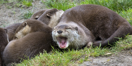 Asian Small Clawed Otter Yawning Relaxing with Family stock photo, Say Ahh, Asian Brown Small Clawed Otter lying together with his family and yawning, Aonyx Cinera, by William Perry