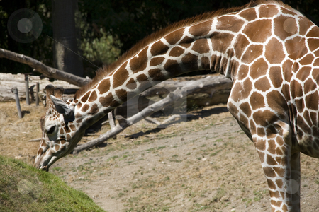 Reticulated Giraffe Eating Grass stock photo, Reticulated Brown and White Giraffe Stretching Neck and Eating Grass, Giraffa Cameolpardalis by William Perry