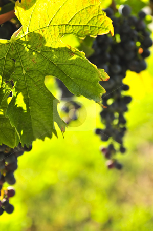 Red grapes stock photo, Red grapes growing on vine in bright sunshine by Elena Elisseeva