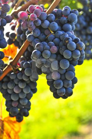 Purple grapes stock photo, Purple grapes growing on vine in bright sunshine by Elena Elisseeva