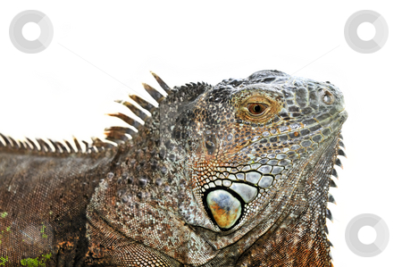 Green Iguana stock photo, Close up of green iguana head on white background by Elena Elisseeva