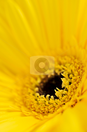 Gerbera flower stock photo, Closeup of brightly colored yellow gerbera flower petals by Elena Elisseeva