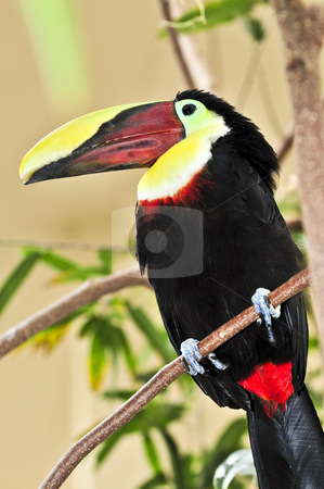 Chestnut Mandibled Toucan stock photo, Chestnut mandibled toucan bird perched on branch by Elena Elisseeva
