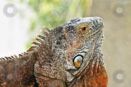 Green Iguana stock photo, Close up profile of green iguana head by Elena Elisseeva