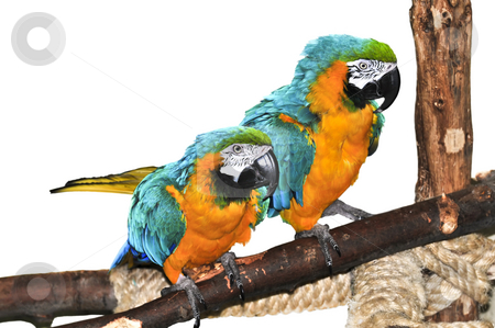 Blue and yellow Macaw stock photo, Pair of blue and yellow macaw parrots on branch by Elena Elisseeva