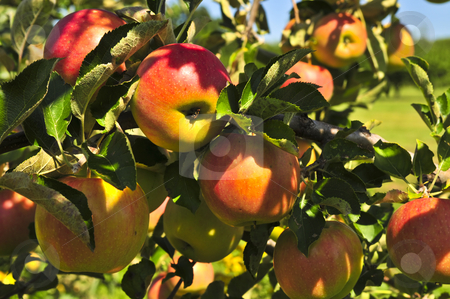Apples on tree stock photo, Organic ripe apples ready to pick on tree branches by Elena Elisseeva