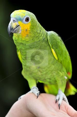Yellow-shouldered Amazon parrot stock photo, Yellow shouldered Amazon parrot perched on hand by Elena Elisseeva
