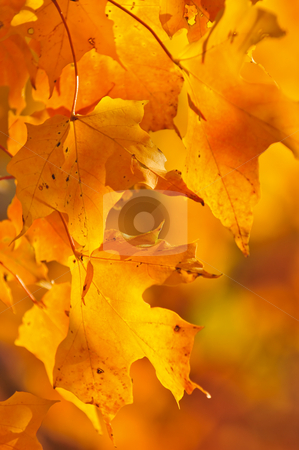 Fall maple leaves stock photo, Red and orange fall maple tree leaves by Elena Elisseeva