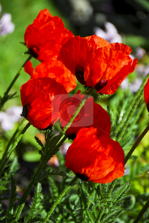 Poppies stock photo, Closeup Profile of bright red poppies on sunny day by Elena Elisseeva