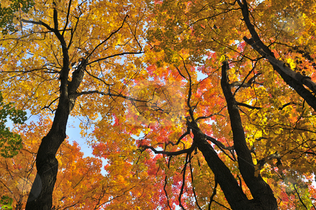 Autumn maple trees stock photo, Beautiful maple trees with red foliage in early fall by Elena Elisseeva
