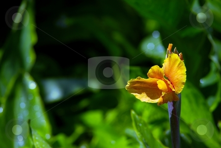 Yellow flower with water drops stock photo, Detail of yellow flower with drops of water, green background by Juraj Kovacik