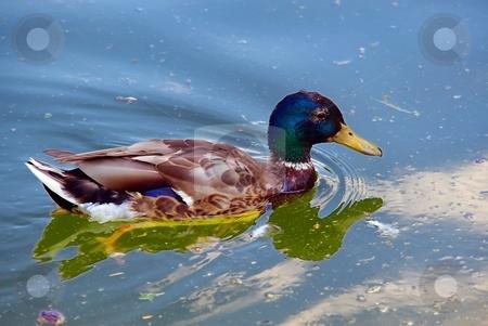 Duck on a lake stock photo, Duck bird with blue green head on a lake by Juraj Kovacik