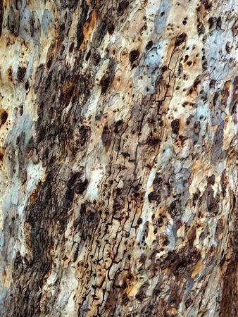 Close-up of eucalyptus tree bark stock photo, Close-up pattern of eucalyptus tree bark by Jill Reid