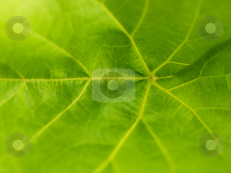 Leaf macro stock photo, Green grapevine leaf macro with shallow depth of field by Laurent Dambies