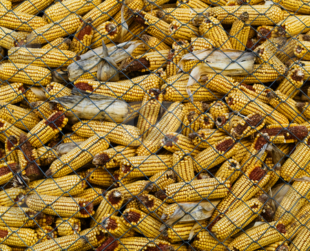 Corncobs stock photo, Pile of corncobs behing metallic grid by Laurent Dambies