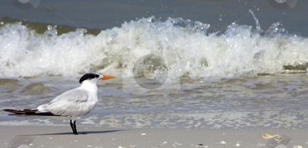 Bird stock photo, Photographs of a typical bird of the beaches in Florida. by Carlos Melillo