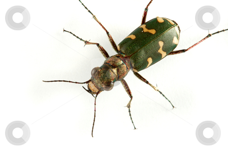 Carabidae  restricta stock photo, Carabidae  the huge family numbering more of 500 kinds. by Sergey Goruppa